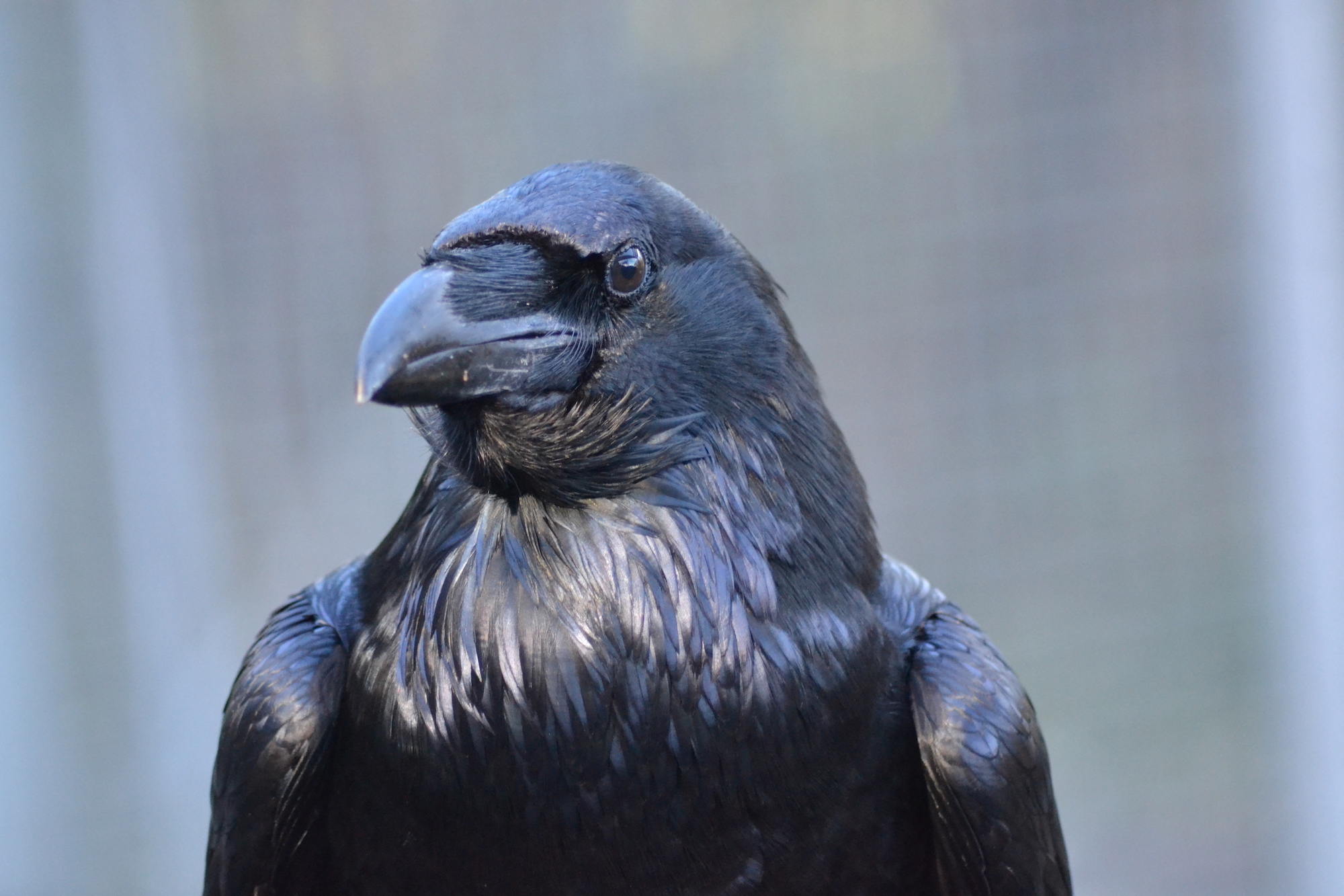 Ravens Know What You Re Thinking California Academy Of