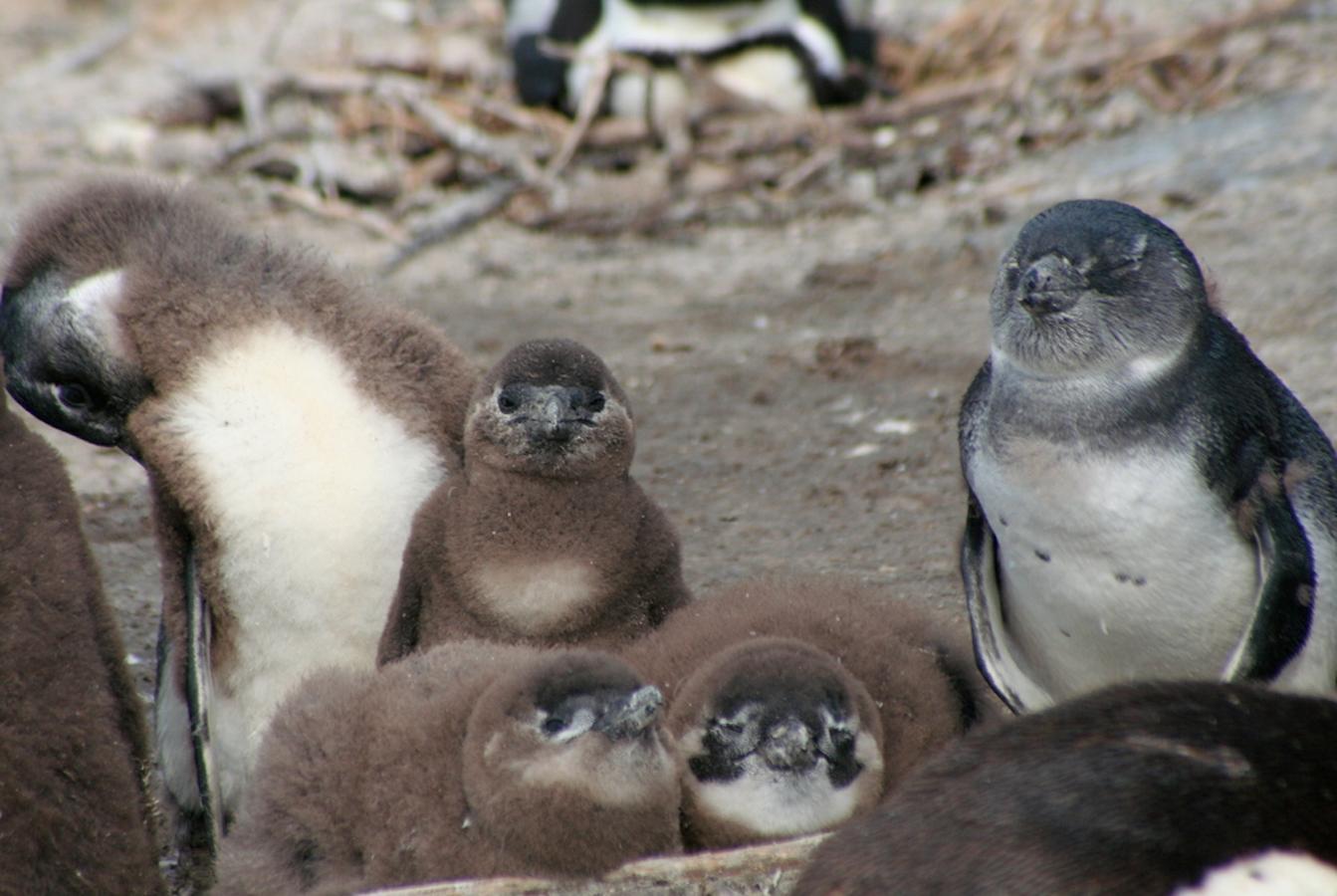 African Penguin Survival California Academy Of Sciences