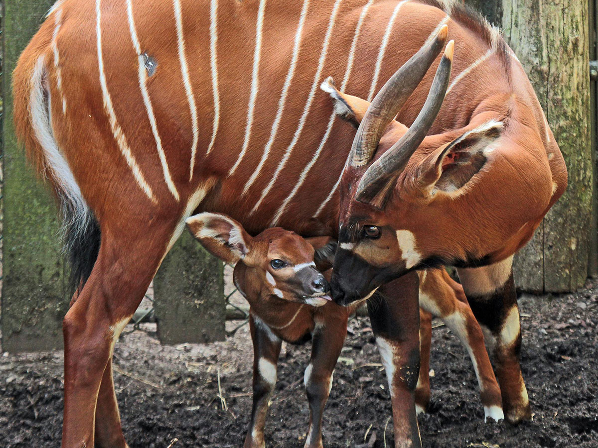 Image result for Bongo Antelope