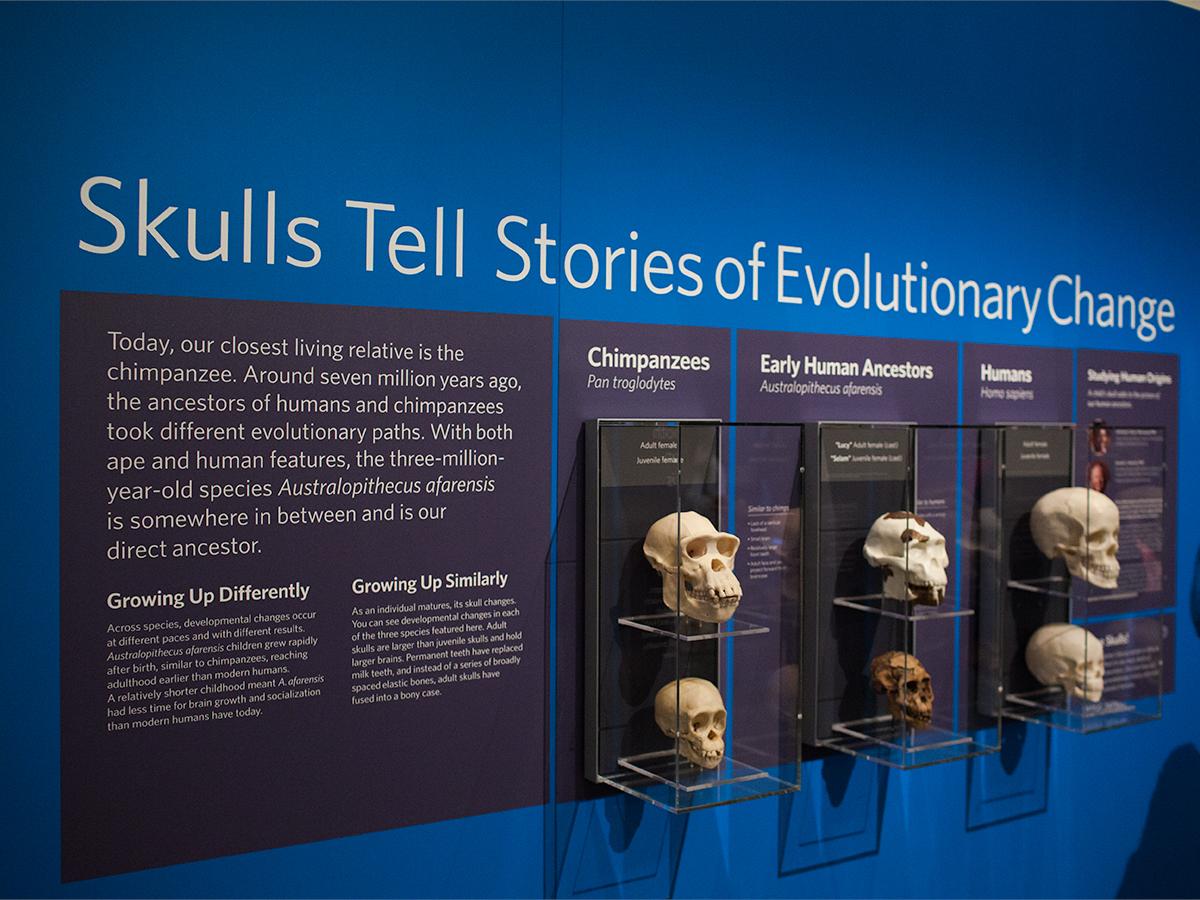 Human Origins and Evolution at the Skulls Exhibit