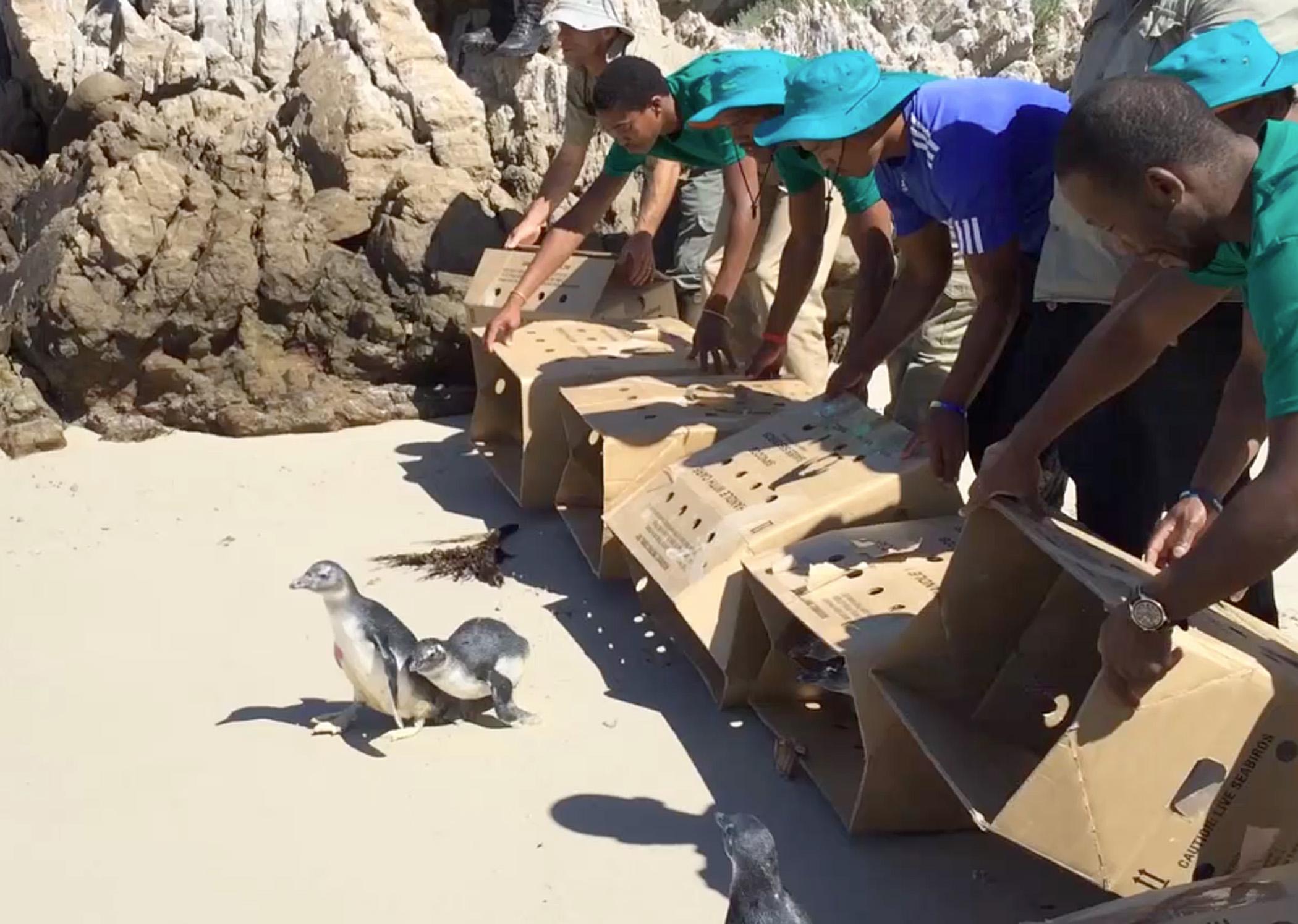 Saving Vulnerable African Penguins