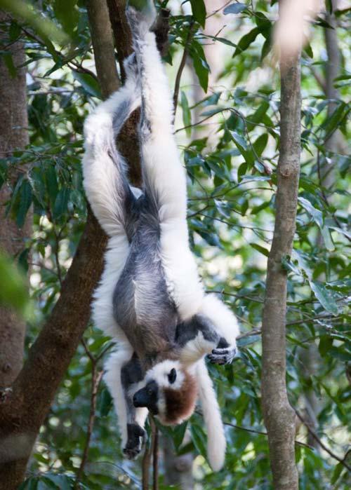 Lemurs More Lemurs Fruit Bats Et Owl California