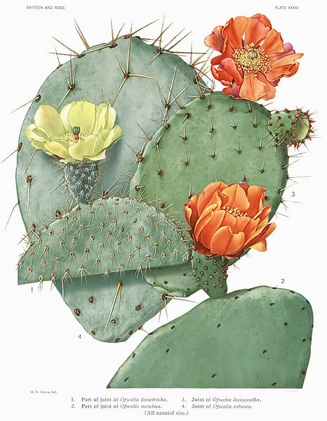 466px-Opuntia22_filtered