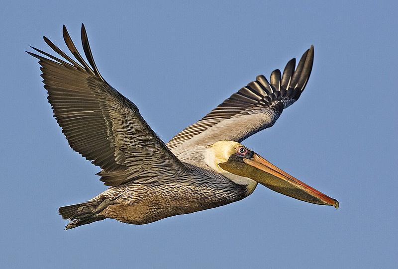 800px-Brown_pelican_-_natures_pics