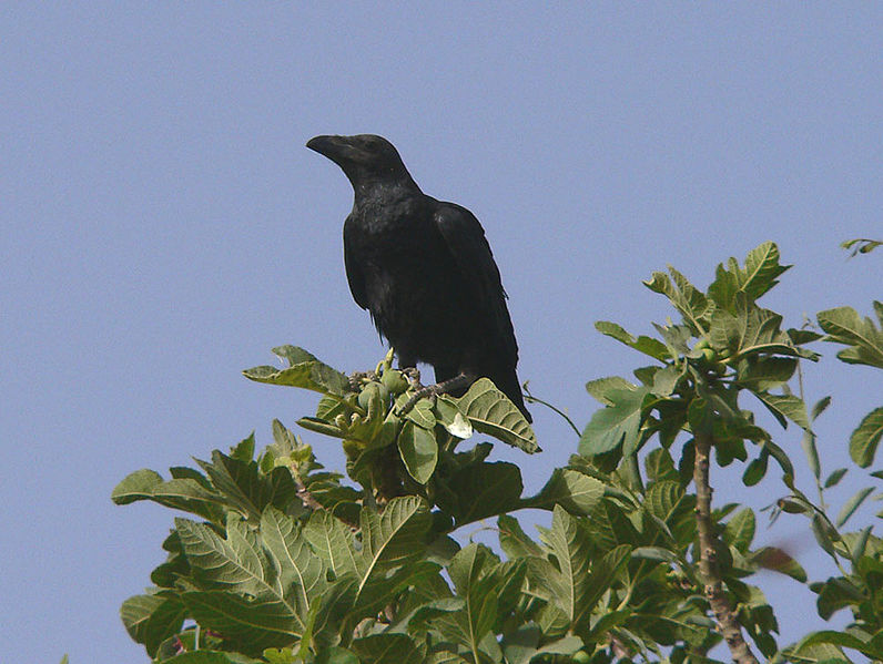 Brown-necked_raven