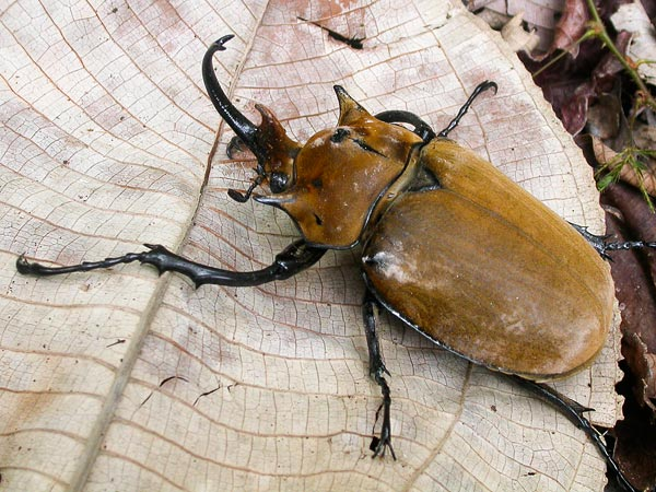 many-species-arthropods-insects-found-panama-scarab-beetle_62328_600x450
