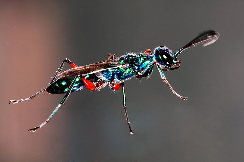 Emerald_Cockroach_Wasp