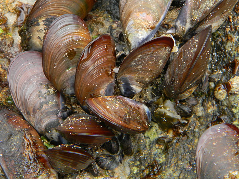 Mussel_in_rock