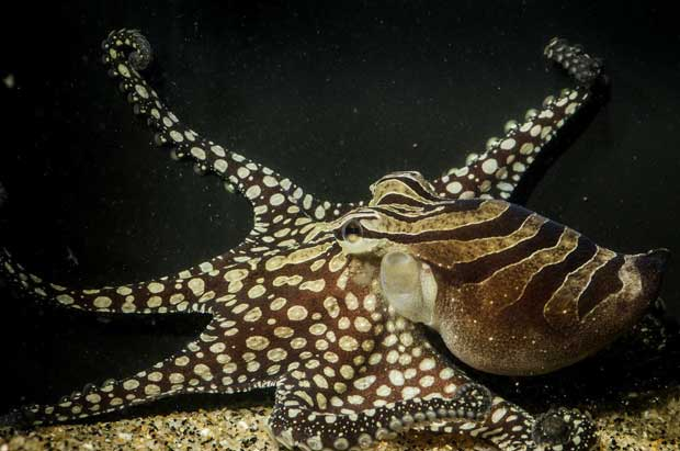 larger-pacific-striped-octopus-2