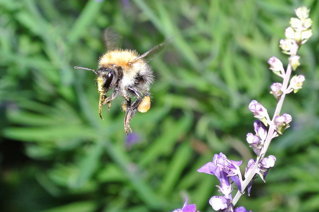 Bumble_Bee_in_flight