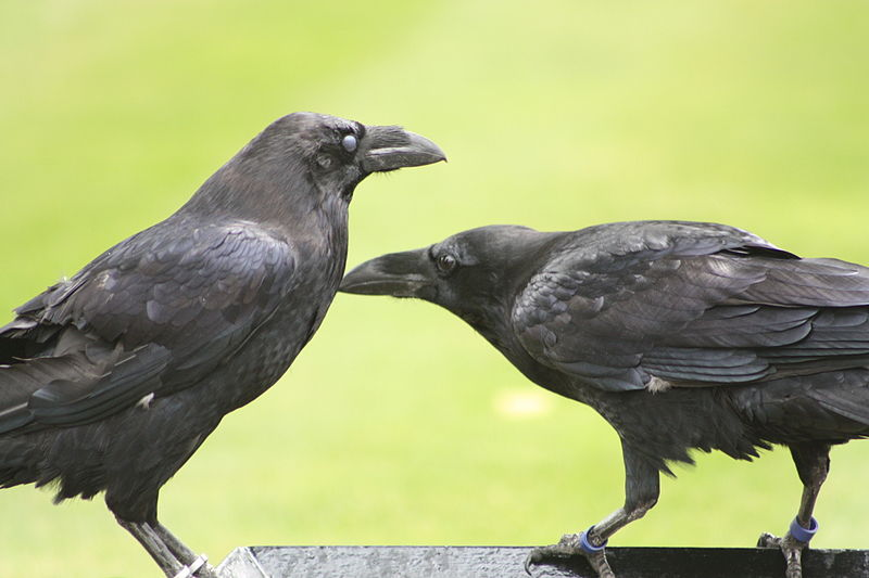 Ravens-tower-of-london