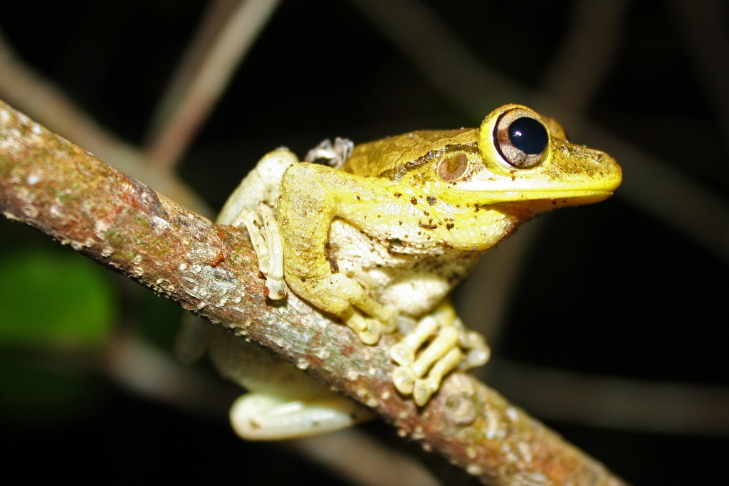 Cuban_Tree_Frog_(Osteopilus_septentrionalis)