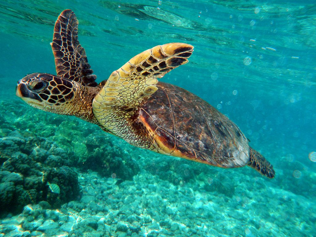 Green_turtle_swimming_in_Kona_May_2010