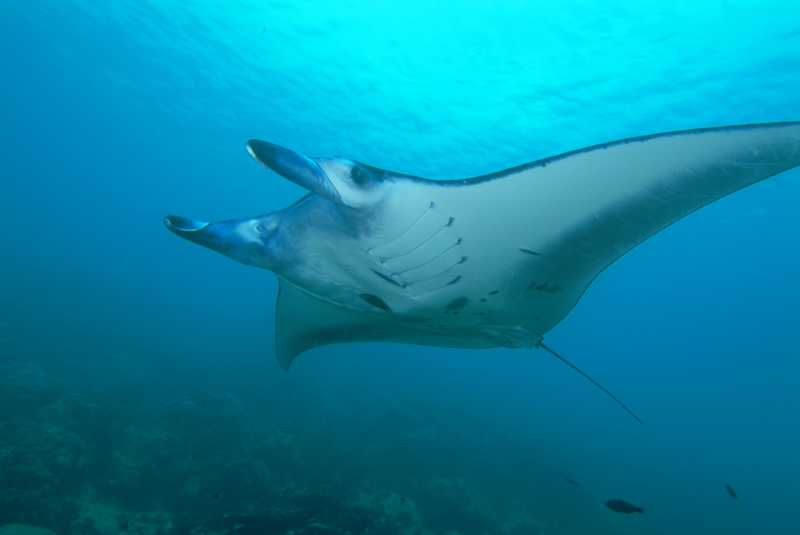 Manta_ray_from_Yap