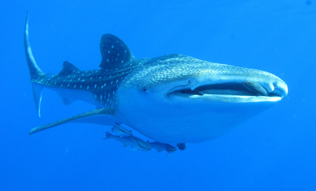 Whaleshark,_Daedalus_Reef,_Red_Sea,_Egypt_-_take_2_(6142991715)