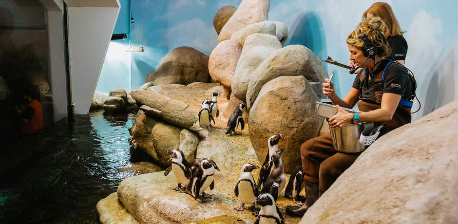An Academy biologist feeds our colony of African penguins