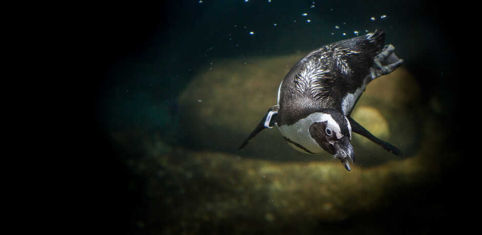 Underwater photo of African penguin swimming with fish in mouth