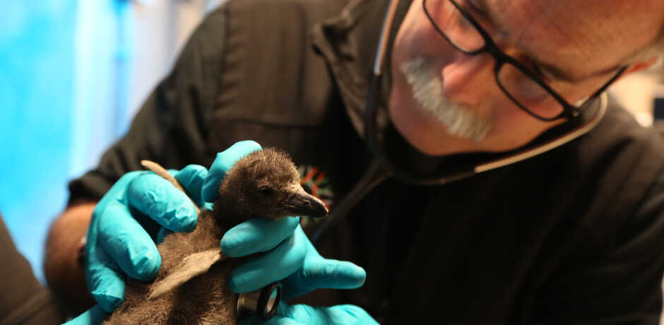 Academy veterinarian Freeland Dunker examines an African penguin chick