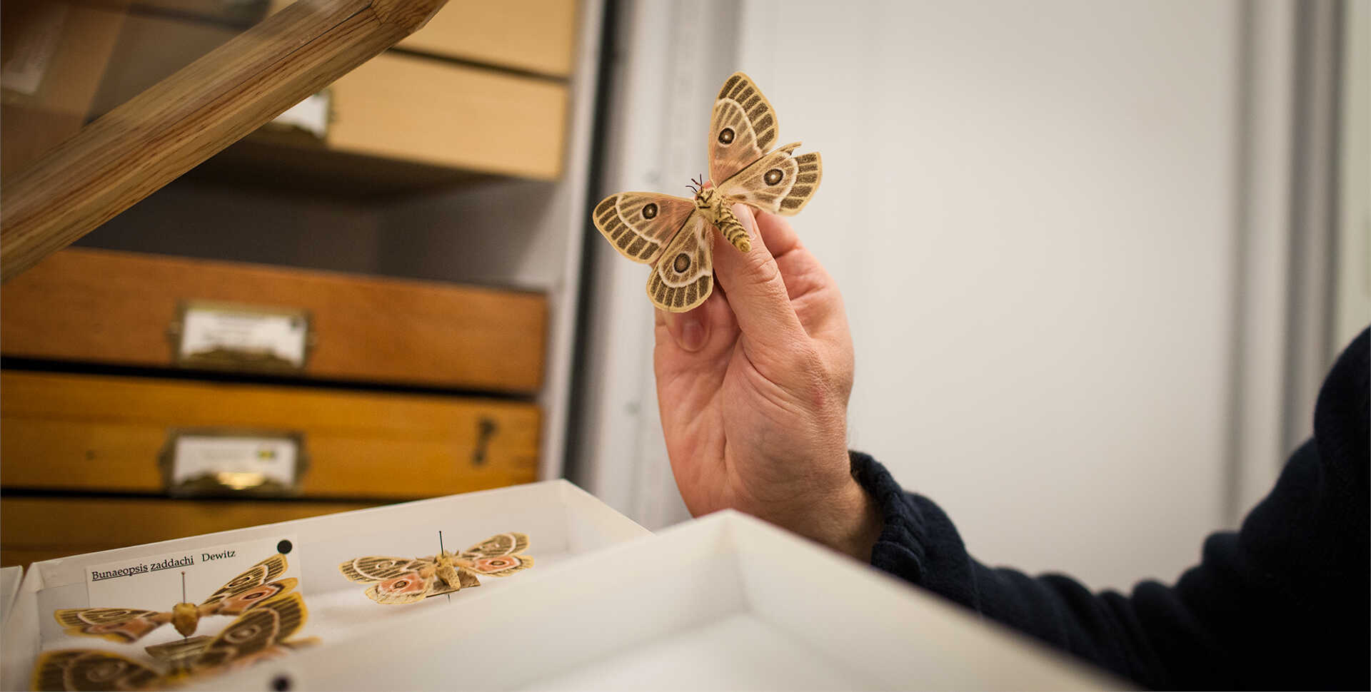A Bunaeopsis zaddachi (moth) specimen