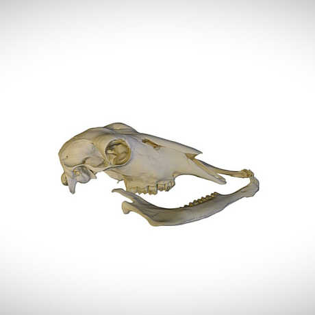 waterbuck skull