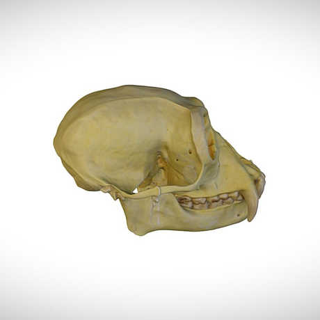 siamang skull