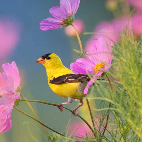 Goldfinch perched in wildflowers