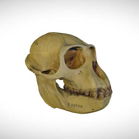 guereza skull