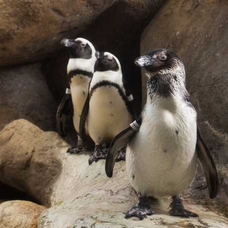 A trio of African penguins poses on a rock in their habitat