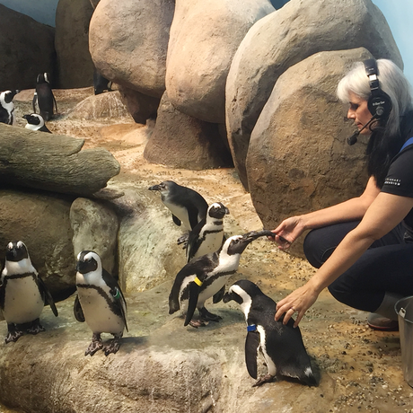 Biologist Vicki McCloskey feeds a hungry colony of African penguins