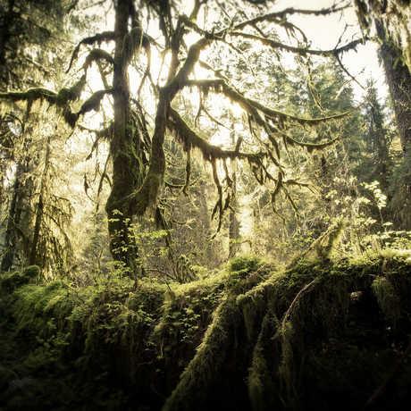 Hoh Rainforest, Olympic Peninsula, WA
