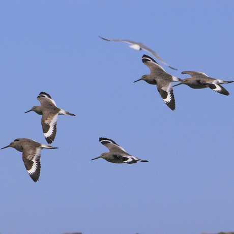 Willets in Flight, Lake Michigan, by Dan Mullen/Flickr