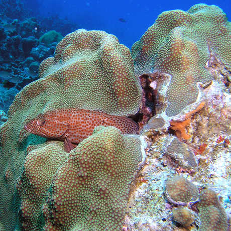 Grouper and reef, emily/Flickr
