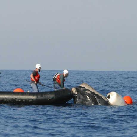 Whale Entanglement Team