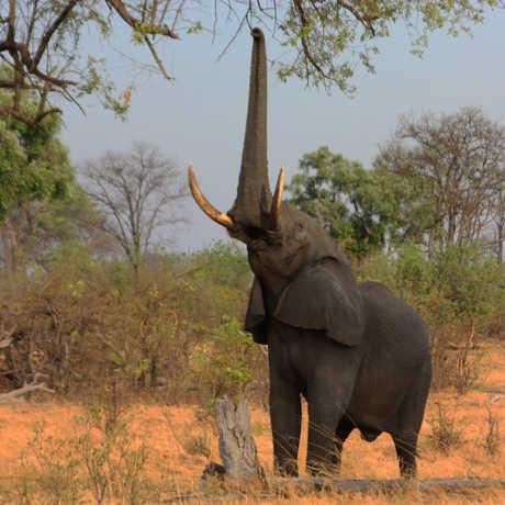 Elephant using trunk to forage