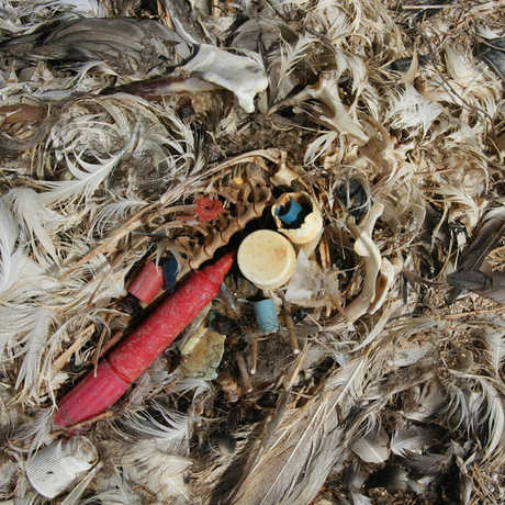 Plastics in the stomach contents of a Laysan albatross