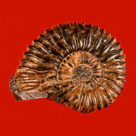 Ammonite red
