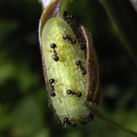 Ants guarding caterpillar