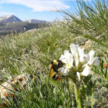 Bombus balteatus, is foraging on Oxytropis sericea flowers on the alpine tundra of Pennsylvania Mountain