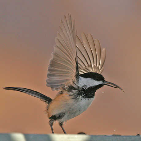 Black-capped chickadee, John Hohl