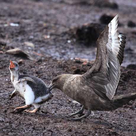 Skua attacks Gentoo penguin chick, Liam Quinn