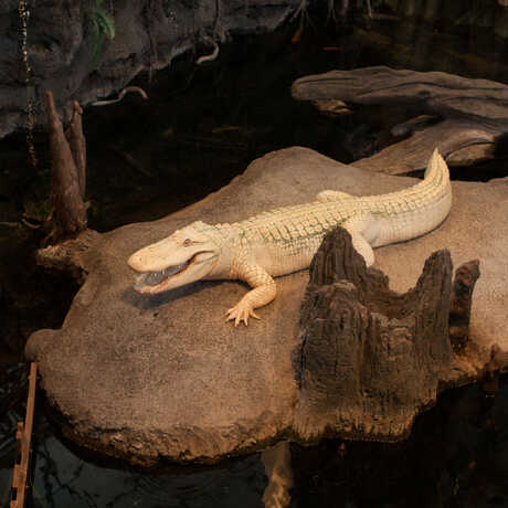 Claude the alligator with albinism basks on his rock with his mouth open