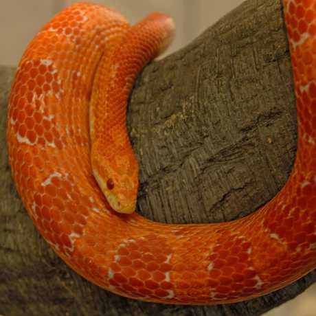 Albino corn snake on a branch