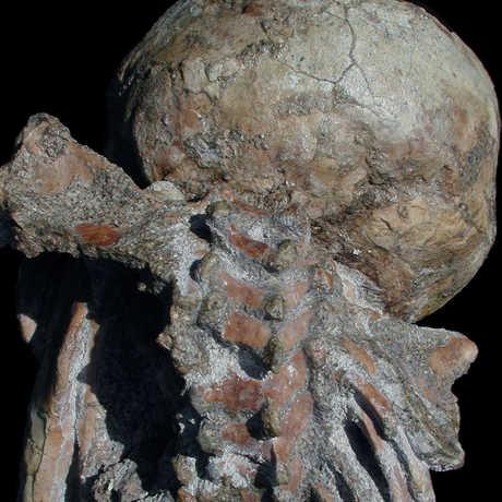 Selam skeleton showing intact shoulder blades