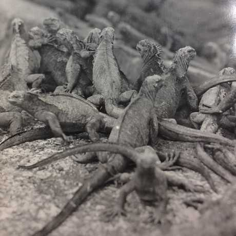 Herpetology, photo of Galapagos marine iguanas