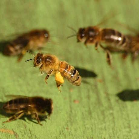 Honeybees heading to the hive