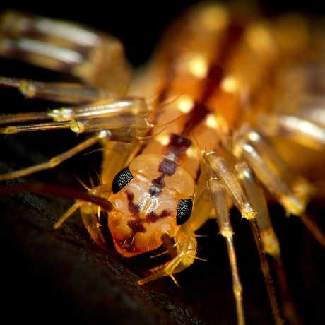 Centipede: Scutigera coleoptrata