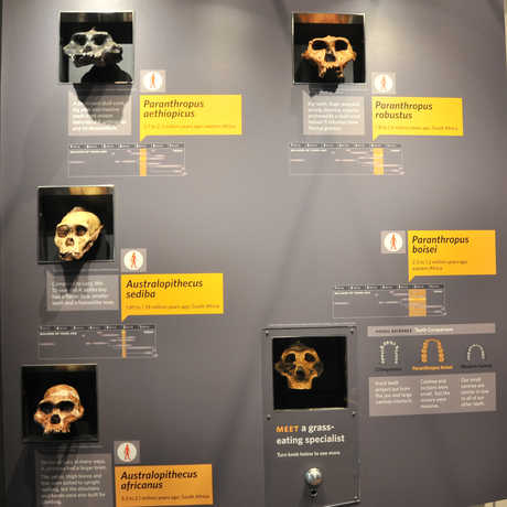 A range of skulls from the Human Odyssey exhibit