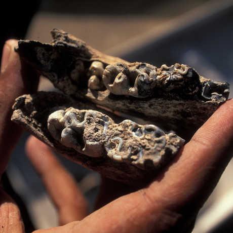 Bovid fossil found at Dikika