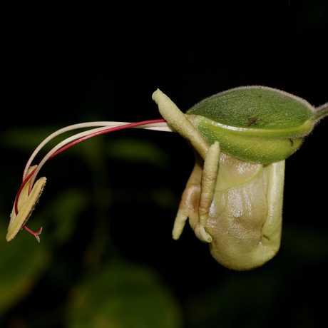 Louteridium donnell-smithii, Alta Verapaz, Guatemala