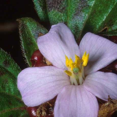 Tristemma mauritianum, SW of Sambava, Madagascar